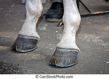 The front hooves of a horse after hot forging a new shoe on the asphalt outdoor