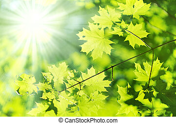 new leaf and sun ray - new Green and yellow maple leaf and...