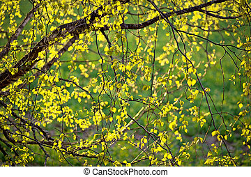 new leaves on birch tree