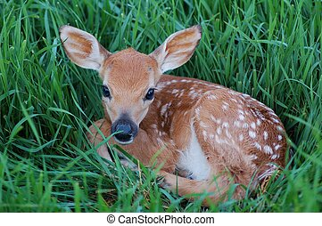 New Life - young spotted fawn