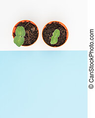 New plant Okra seeding in orange nursery pots  set together over blue and white background,flat lay