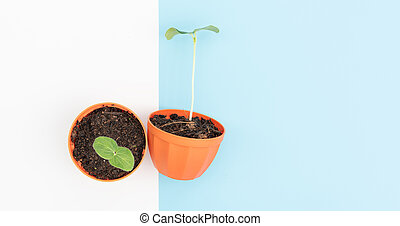 New plant Okra seeding in orange nursery pots  set together over blue and white background,top view