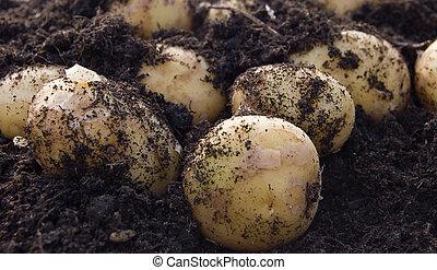 New potatoes in earth