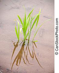 New rice plant
