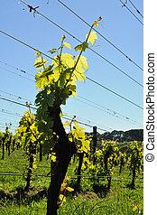 New season grapevine