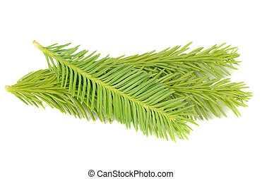 New Spruce Branches Isolated on White Background