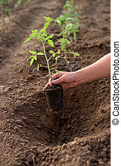 New tomato plant in a vegetable garden