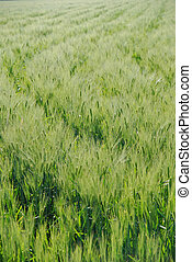 New wheat in Mexico field