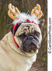 New Year. A dog of the pug breed in a new-year suit.