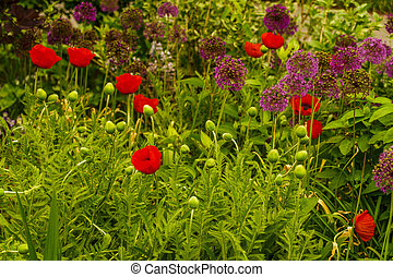 New York Botanical Garden, Red Poppy, Bronx