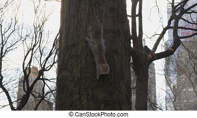 New York Central Park Squirrel - Squirrel climbs a tree in ...