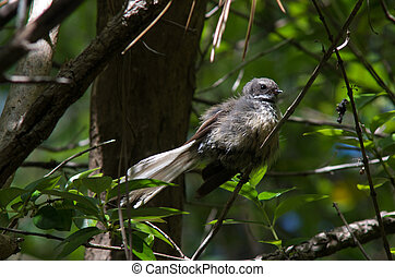 New Zealand Fantail sit of a tree branch in Roberton Island national reserve at the bay of Island New Zealand.