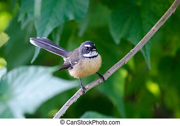 New Zealand Fantail sit on a tree branch.
