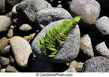 New Zealand Fiordland - Silver fern leaves on a rock in...