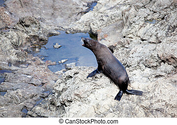 New Zealand fur seal (Arctocephalus forsteri