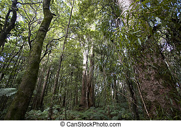 New Zealand - Kauri Forrest - The Kauri is a tree which...