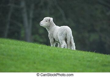 New Zealand - Lamb