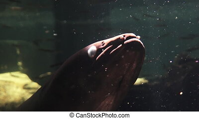 New Zealand longfin eel (Anguilla dieffenbachii) swim underwater. The longfin eel are now considered at risk because over-fishing, pollution, and habitat loss.