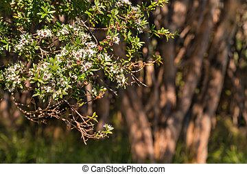New Zealand manuka tree in bloom