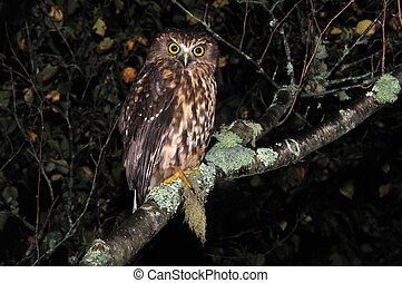 New Zealand native owl, the morepork, Ninox novaeseelandiae, West Coast, South Island