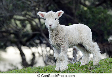 New Zealand Perendale Sheep