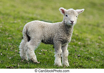 New Zealand Perendale Sheep - Perendale Sheep lamb.It's a...