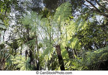 New Zealand Plants - Silver tree fern - WHANGAROA, NZ - JUNE...