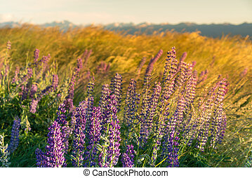 New Zealand purple lupin flower full bloom condition during summer season