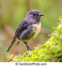 New Zealand Robin on green log in natural forest - New ...