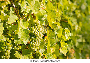 Sauvignon Blanc grapes vineyard with ripe bunches of grapes...