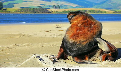 New zealand sea lion - The morning toilet of a New Zealand...