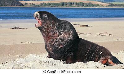 New zealand sea lion woke up and yawns - New Zealand sea...