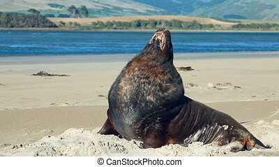 New zealand sea lion woke up and yawns - New Zealand sea...