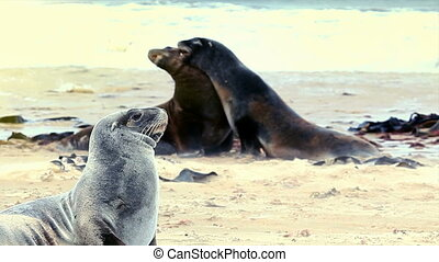 New zealand sea lions mating competition - Female new...