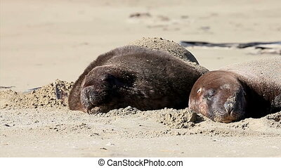 New zealand sea lions plays on the shore