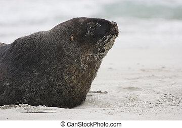 New Zealand Seal