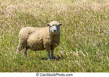 New Zealand sheep in the meadow