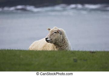 New Zealand - Sheep