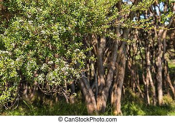 New Zealand tea-tree shrub in bloom