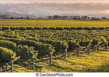 New Zealand vineyard at sunset