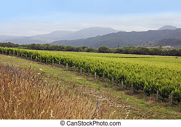 New Zealand - vineyards in the Marlborough district, South ...