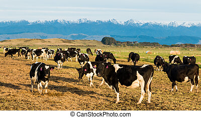New Zealand Winter Cows