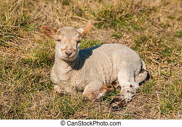 New Zealnd Lamb