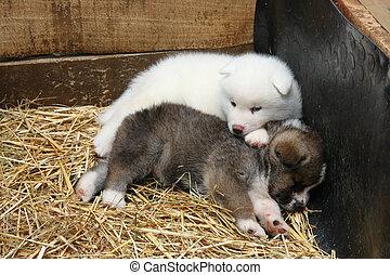Newborn Akita Inu puppies