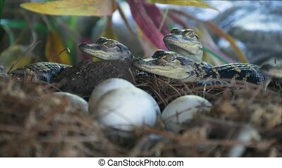 Newborn alligator near the egg laying in the nest. Little...