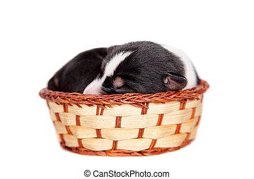 Newborn basenji puppy, 3 days, on white