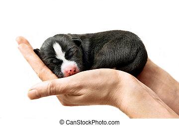 Newborn Basenji puppy on white