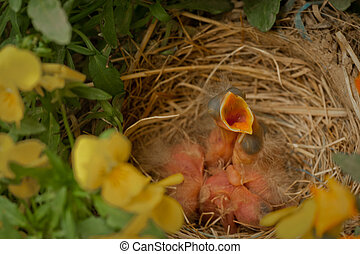 Newborn birds in nest