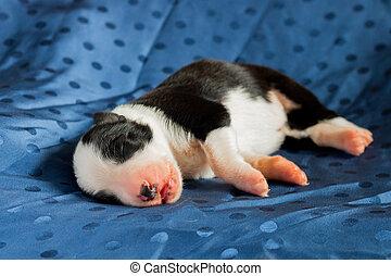 Newborn Border collie