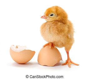 Newborn brown chicken standing on egg shells - Newborn brown...